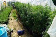 Súper cultivo de marihuana en Caspe