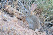 Tiemblan los conejos bajoaragoneses