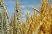 Jornada sobre el cereal ecológico en Híjar