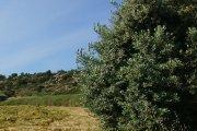 Localizan olivos milenarios para la catalogación desarrollada en el Matarraña