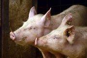 Alumnos de Caspe inauguran su formación en el sector porcino