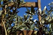 UAGA: que el olivar del Bajo Aragón se declare zona catastrófica