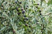Piden medidas para hacer frente a los daños de Filomena en olivos bajoaragoneses