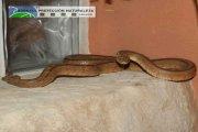 La Codoñera. Rescatada serpiente